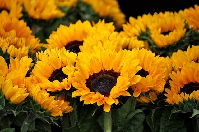 Sunflower, Blossom, Bloom, Flowers, Flora, Bright