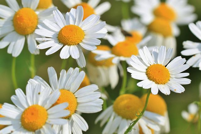 Flowers, Chamomiles, Meadow, Bloom, Blossom