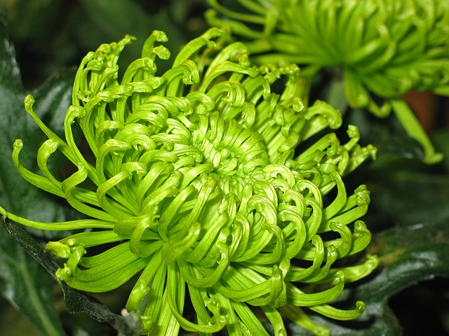 Chrysanthemums, Flowers, Plant, Blossom, Bloom, Nature