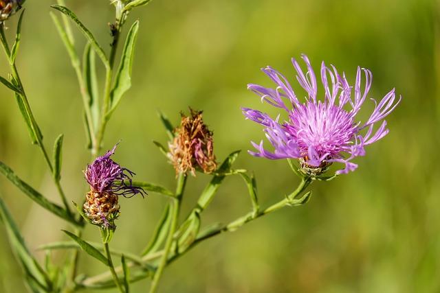 Knapweed, Flower, Blossom, Bloom, Flowers, Purple