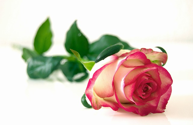 Rose, Flowers, Blossom, Bloom, Beauty, Romantic, Color
