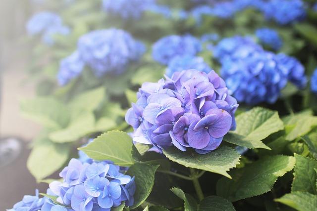Flowers, Hydrangea, Purple, Blue Flower, Blossom