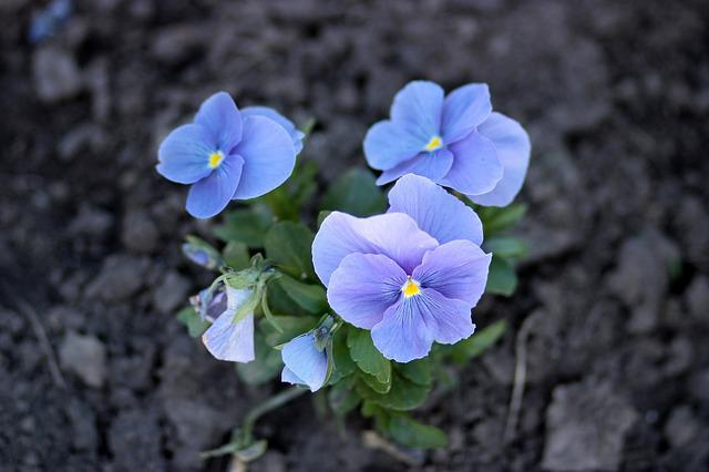 Pansies, Blue, Flowers, Nature
