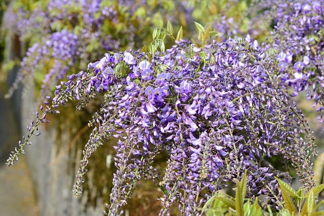 Blue Rain, Wisteria, Violet, Flowers, Grapey, Flower
