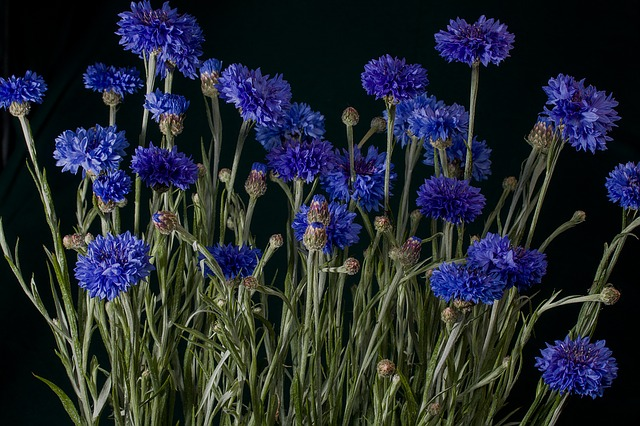 Flowers, Cornflowers, Blue, Macro, Wild Flower, Nature