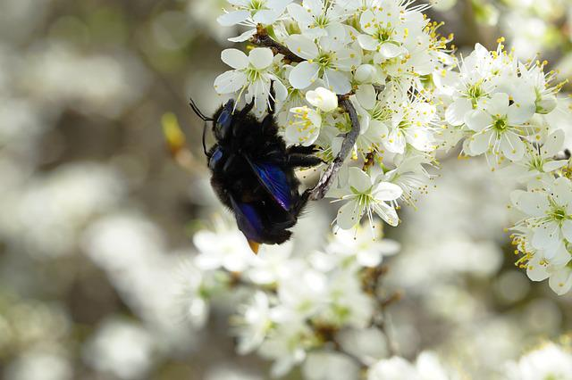 Blossom, Nature, Plant, Insect, Blue Wood Bees, Flowers