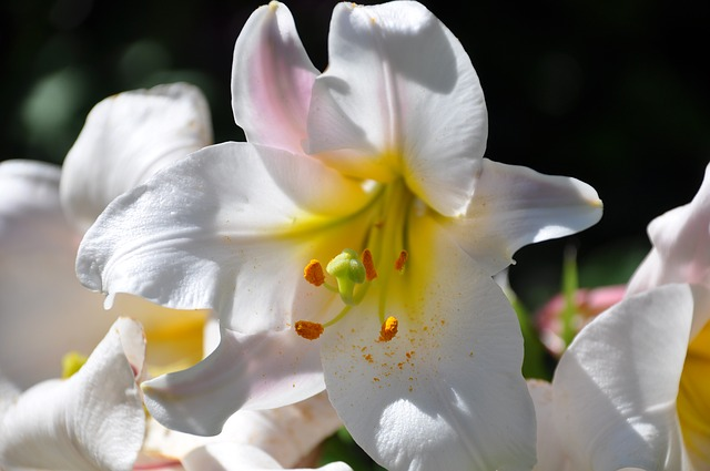 Lys, White Lily, Flowers, White, Bouquet, Garden
