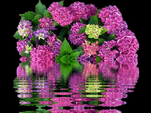 Hydrangeas, Bush, Nature, Garden, Plant, Flowers