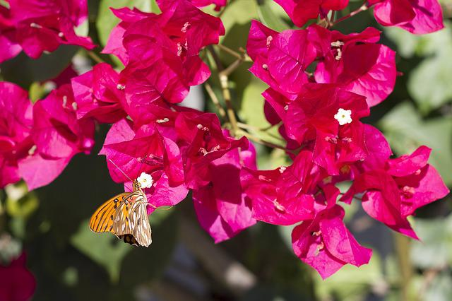 Butterfly, Flowers, Bougainvillea