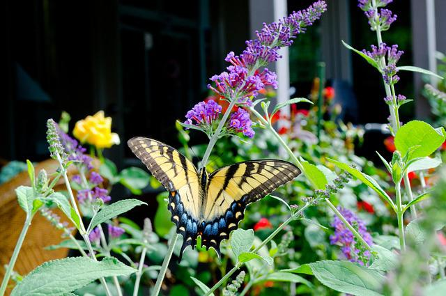 Butterfly, Butterfly Bush, Colorful, Flowers