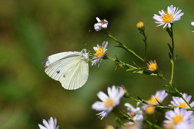 Butterfly, Insect, Animal, Nature, Prato, Flowers