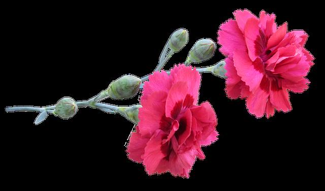 free photo flowers carnation stem