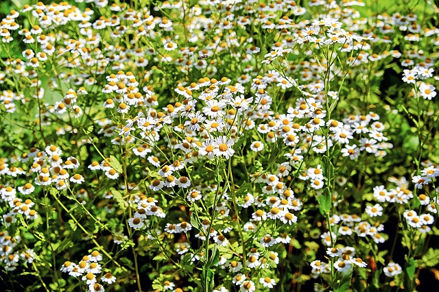 Chamomile, Ornamental Camomile, Flowers, Bloom, Nature