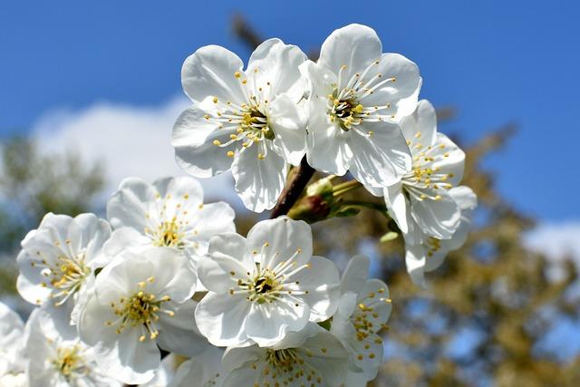 Cherries, Flowers, Closeup, White, Nature, Cherry, Sad