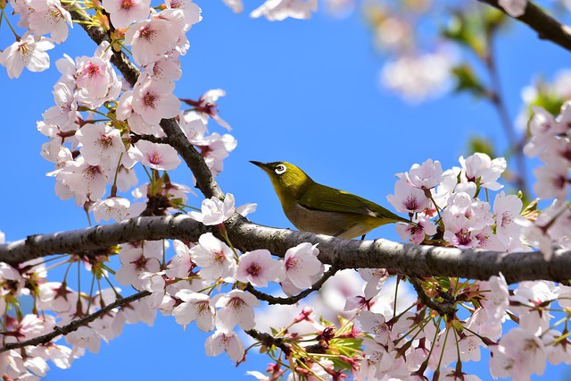 Animal, Plant, Flowers, Cherry Blossoms, Bird