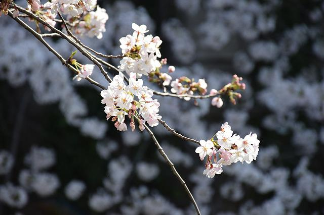 Cherry, Cherry Blossom Viewing, Flowers, Bloom