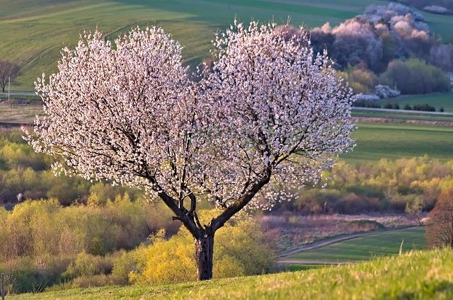Tree, Nature, Heart, Cherry, Flowers, Silhouette