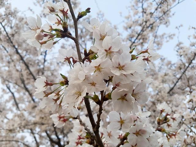 Cherry Blossom, Nature, Wood, Cherry Tree, Flowers