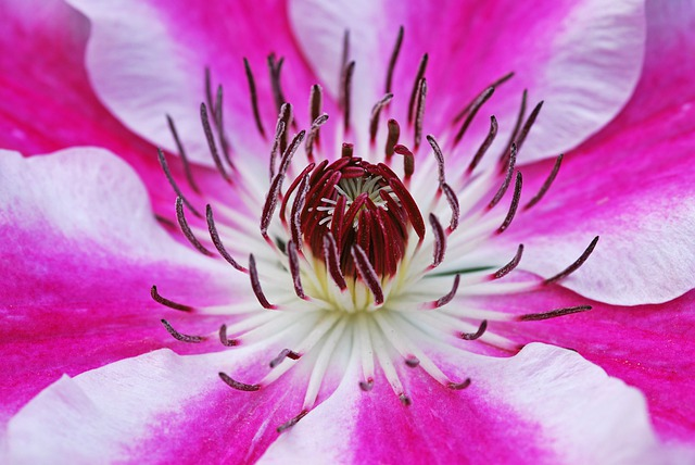 Clematis, Flowers, Blossom, Bloom, Plant, Pink, White
