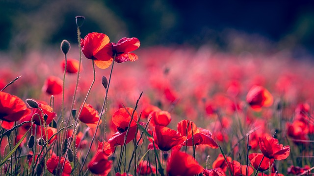 Poppies, Nature, Plant, Field, Season, Color, Flowers