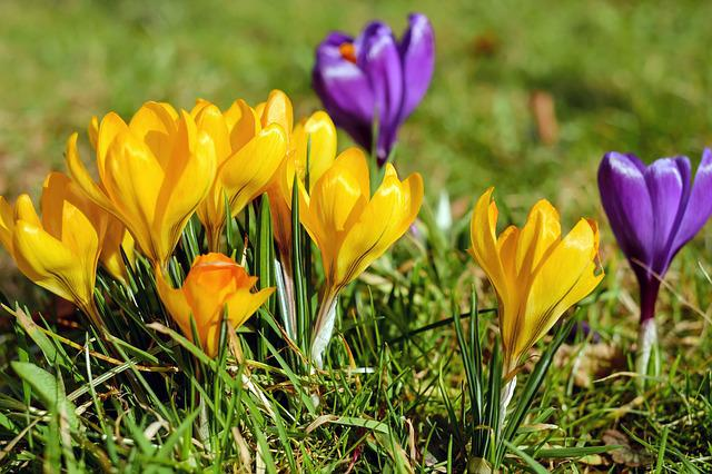 Crocus, Flowers, Bloom, Yellow, Violet, Spring, Meadow