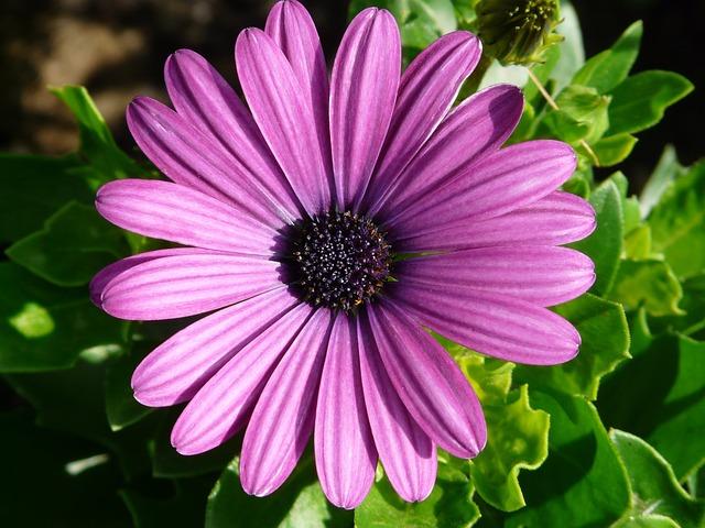Gerbera, Flowers, Plant, Summer, Purple, Cut Flowers