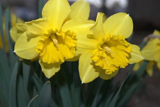 Daffodil, Flowers, Spring, Yellow