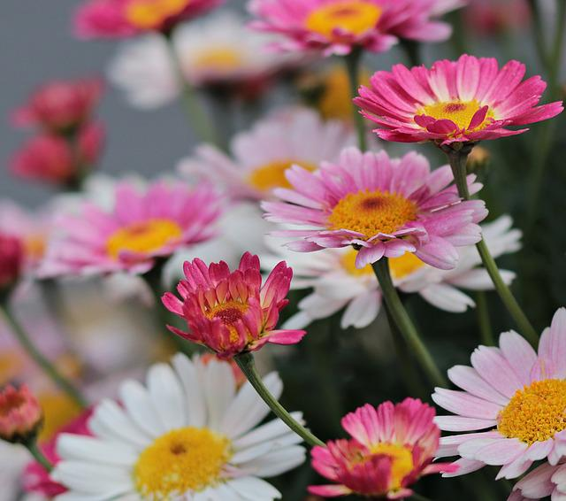 Nature, Plant, Flowers, Summer, Floral, Daisies