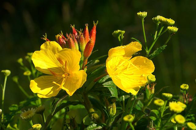 Flowers, Yellow, Delicate Flower, Plant, Yellow Flowers