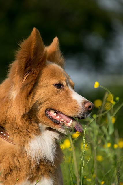 Dog, Portrait, Meadow, Flowers