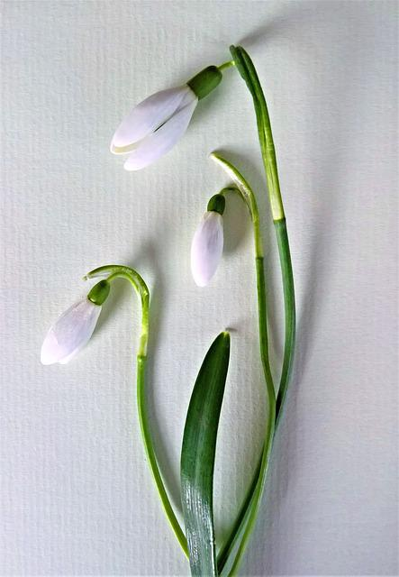 Snowdrop, Flowers, Small White Flowers, Early Bloomer