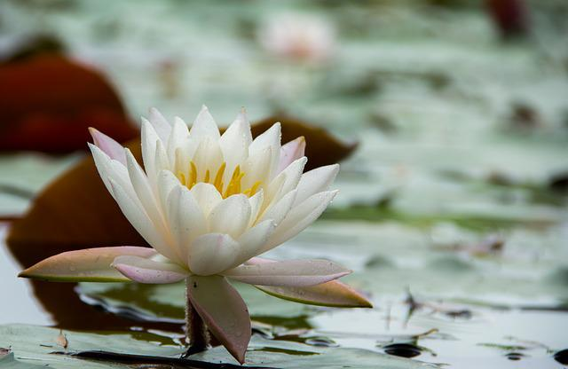 Water Lilies, Flowers, Early In The Morning