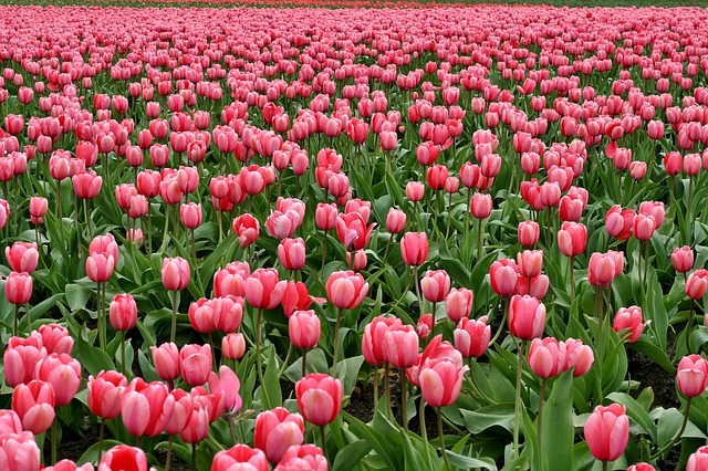 Tulips, Flowers, Fish Eye, Red, Purple, Field, Farm