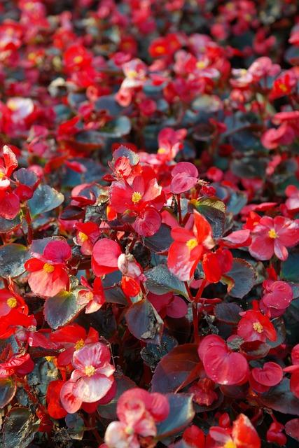 Ice Begonias, Flowers, Red, Flora
