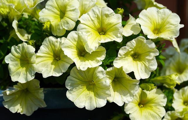 Petunia, Flowers, Nature, Flora, Garden Petunia, Yellow