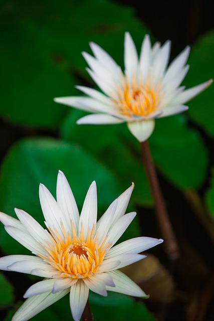 Free photo green flower nature lotus max pixel lotus flower flowers nature background water mightylinksfo