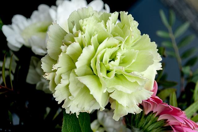 Flowers, Carnation, Flower, White Flowers