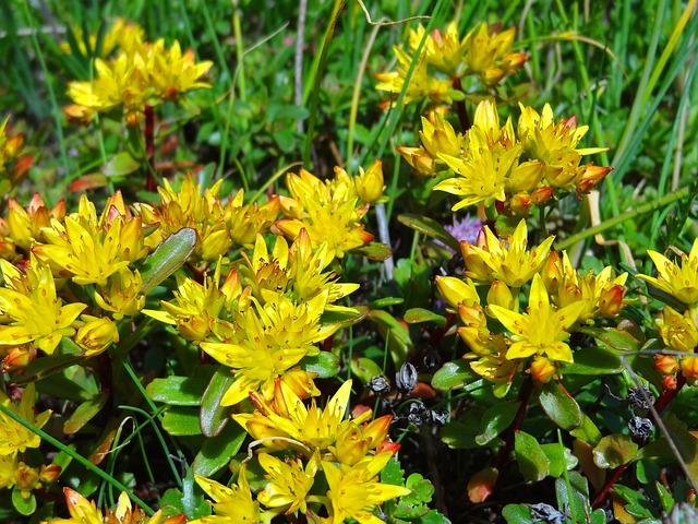 Sedum, Stonecrop, Flower Meadow, Flowers, Yellow