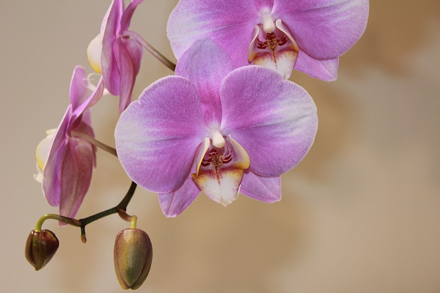 Orchid, Flower, Flowers