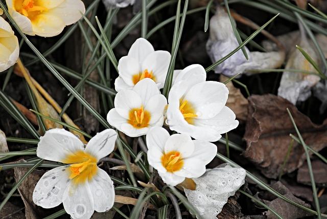 Crocus, Flowers, Bloom, Spring, Flower, Spring Flower