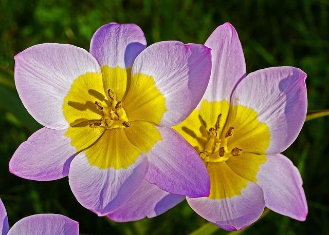 Wild Tulips, Flowers, Flower, Nature, Petal, Garden
