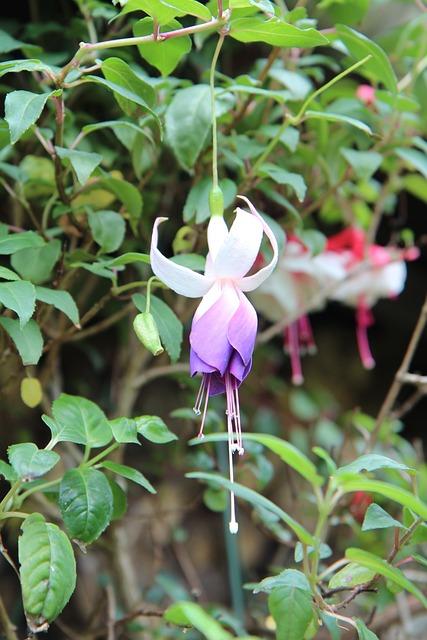 Fushia, Flowering Fushia, Fushia Pink White, Flowers