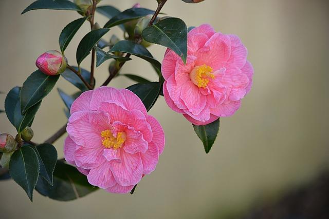 Flowers, Roses, Flora, Flowering, Pink Flowers, Garden