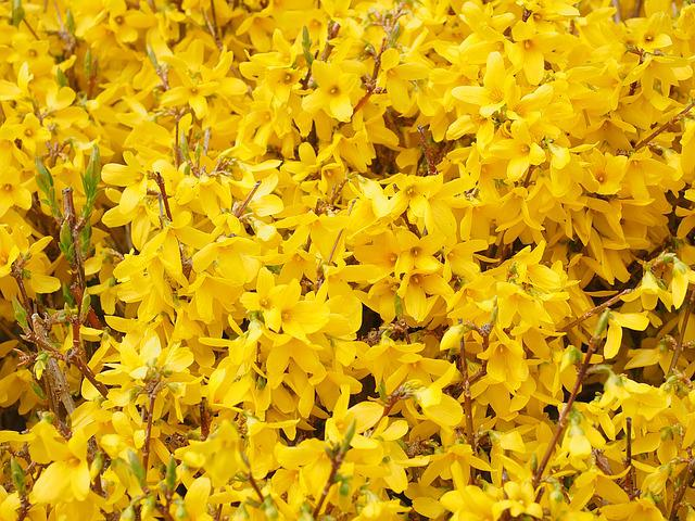 Gold Lilac, Forsythia, Branches, Yellow, Flowers