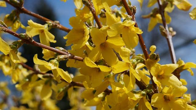 Garden, Flowers, Forsythia
