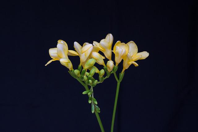 Flowers, Yellow Flowers, Freesia, Yellow Freesia