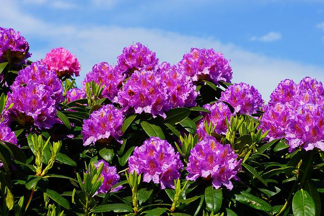 Flowers, Rhododendrons, Bush, Frühlingsanfang