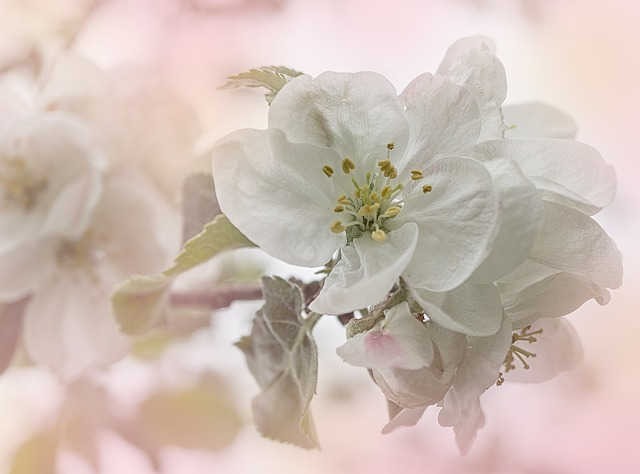 Apple, Apple Tree, Apple Blossoms, Flowers, Fruit