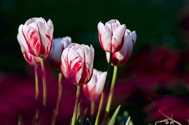 Tulips, Garden, Flowers, Color, Spring, Nature