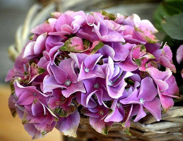 Hydrangea, Blossom, Bloom, Plant, Flowers, Garden